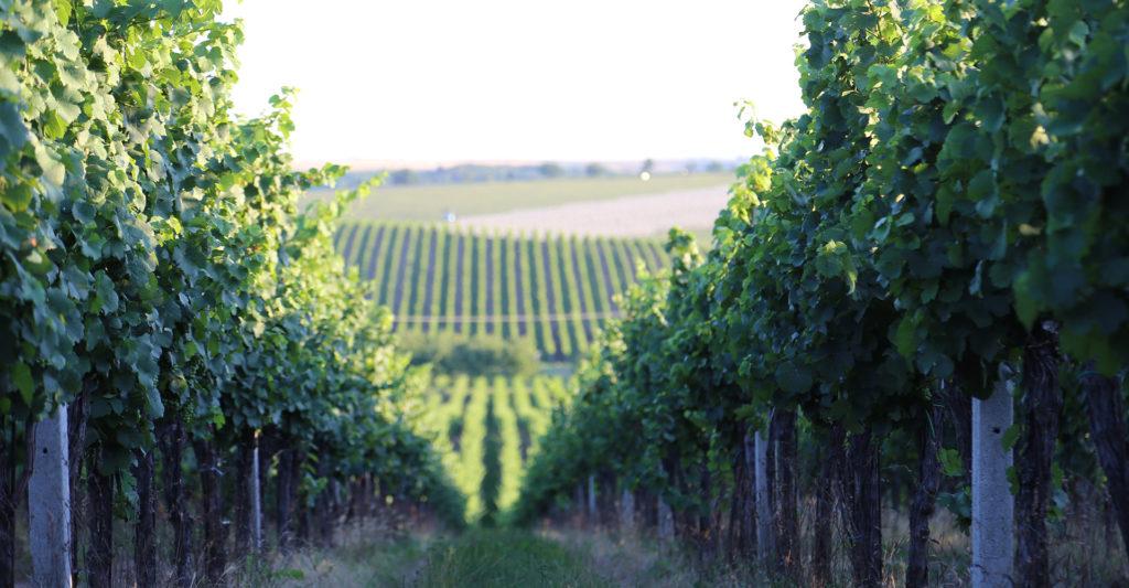 Vinařství Weinberg vinice